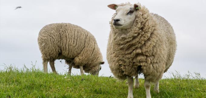 ovelhas 1